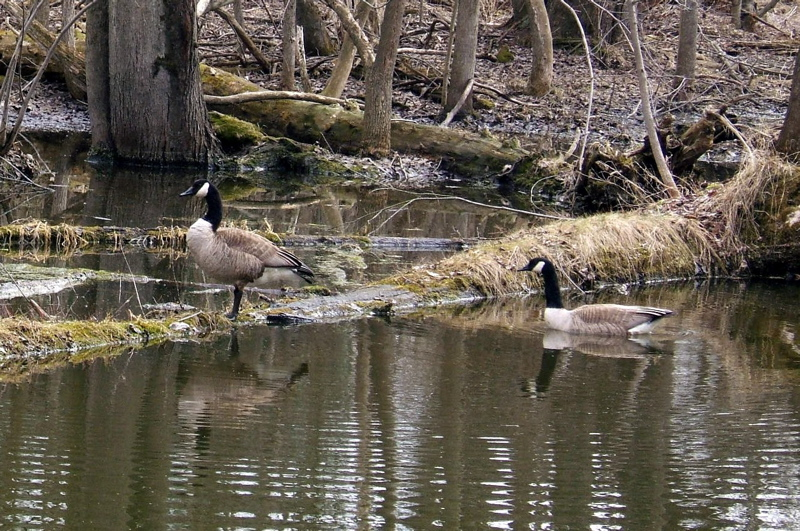 And the geese