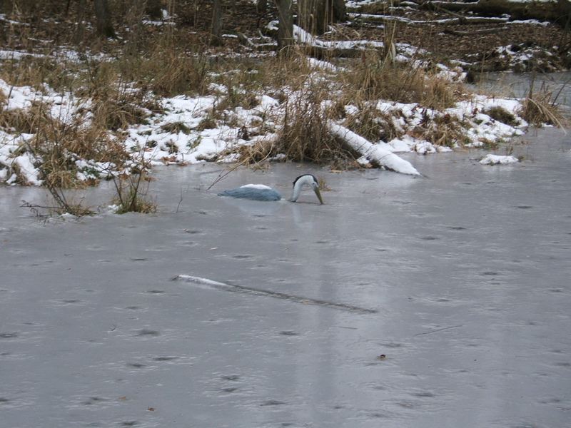 The heron freezes