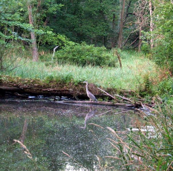 Woodlands heron fishing