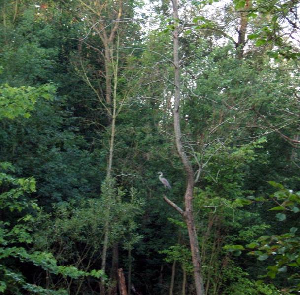 Woodlands heron thinkin'