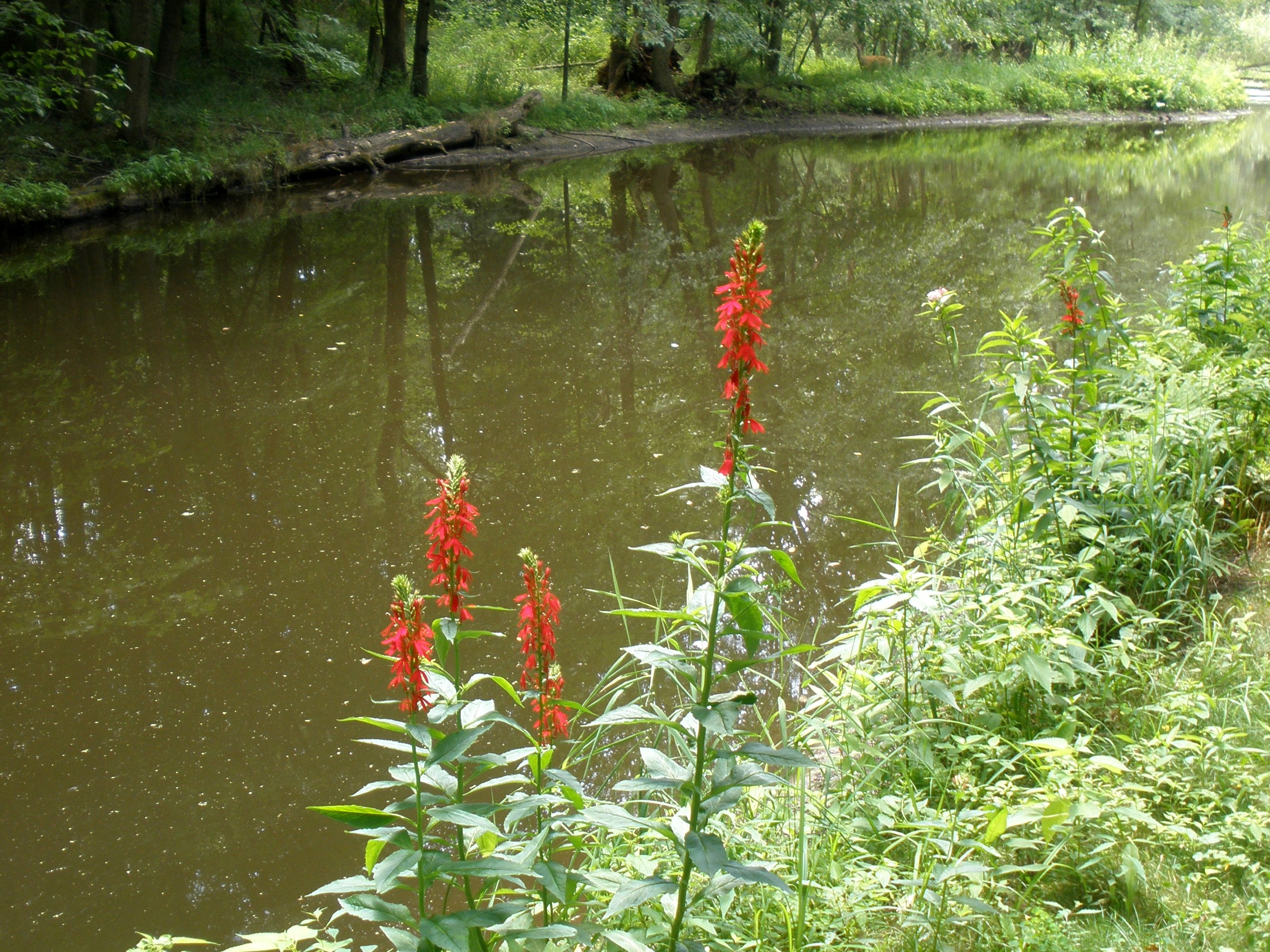 Cardinal flower by day
